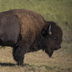Volunteers wanted to hunt bison in Grand Canyon National Park