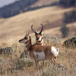 Idaho studies antelope migration patterns