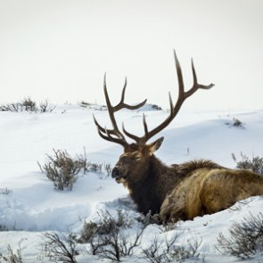 Annual Idaho elk count begins