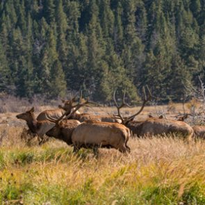 IDFG killed over 200 elk for depredation study last year