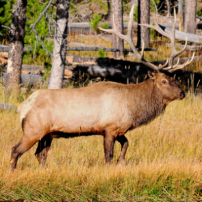 After a long struggle, elk bounce back in Idaho