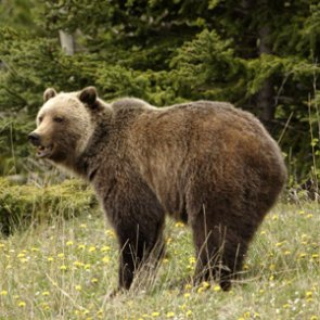 Idaho approves grizzly bear hunt for 2018 season