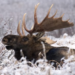 Three new Idaho moose hunts proposed in 2015