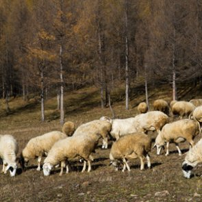 Forest Service sued over domestic sheep grazing in Idaho