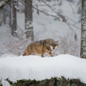 Idaho commission expands wolf hunting and trapping