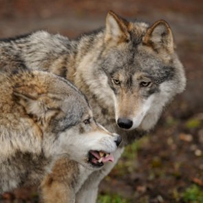 Idaho to expand wolf hunting and trapping