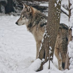 Idaho preps for annual wolf count