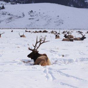 Elk lacking on public land near Jackson Hole