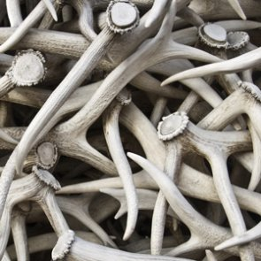 Elk antler auction raises over $186,000