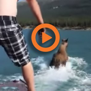 Guy on a moose video equals a $100,000 fine
