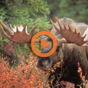 The 8 best moose hunting films of all time