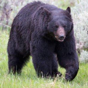 Poaching 9 black bears equals $250,000 fine