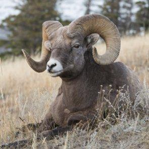 Montana's Sun River bighorns at risk