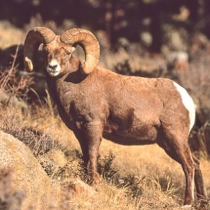 Montana removes more bighorns to prevent die-off