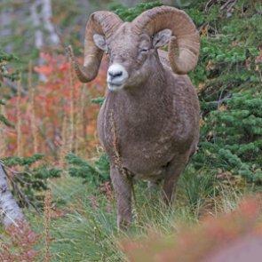 Wildlife corridor to protect bighorn sheep