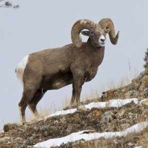 The bighorn sheep struggle across the West