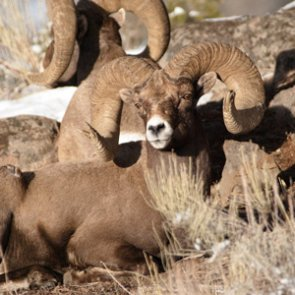 World record bighorn mount for sale