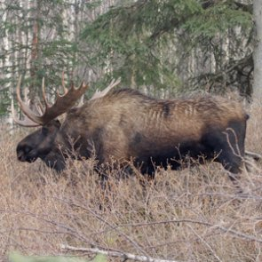 Is a predator pit causing BC's moose decline?