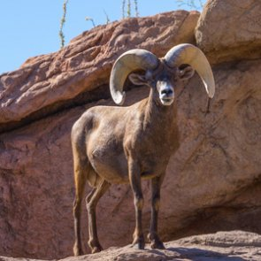 4 New Mexico sheep tags bring $500,000 for conservation