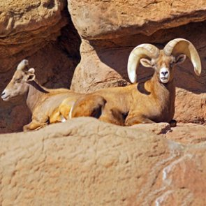 Cause of Arizona bighorn deaths frightening