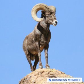How to accurately score bighorn sheep horns