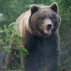 Grizzly bear shot after killing sheep