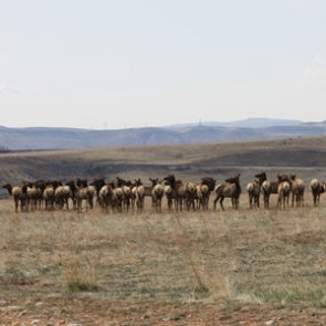 30 elk killed in unethical hunt