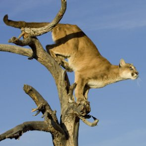 The political spiral of mountain lions in California