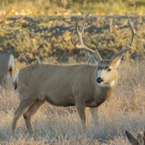 APPLICATION STRATEGY 2016: Arizona Deer, Sheep and Bison