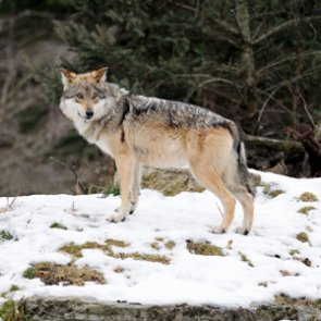 Wisconsin wolves: numbers are on the rise