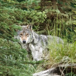 Another wolf spotted in South Dakota