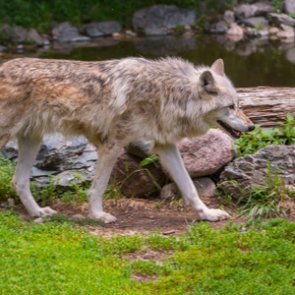 RMEF awards grant to keep wolves delisted in Idaho