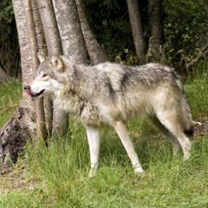 Michigan court upholds law that allows wolf hunting