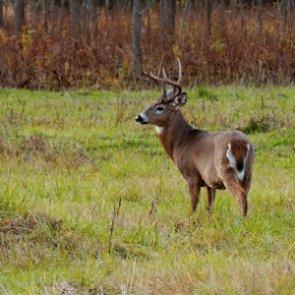 Louisiana warns hunters about using deer urine lures
