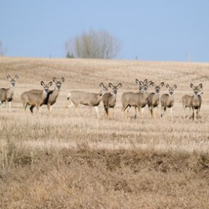 CWD confirmed in 142 animals during Montana's 2019/20 disease sampling