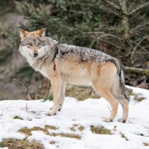 Wolf battle heats up in Arizona