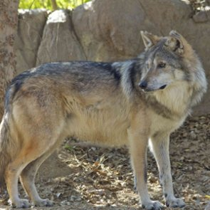 Compensation for ranchers to coexist with wolves