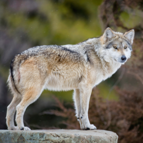 Mexican wolves rebound in AZ & NM
