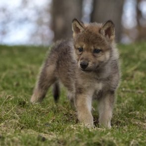 Mexican wolf recovery moves forward with captive pups released to wild wolves
