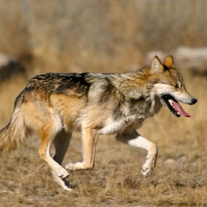 New study says Mexican wolves should stay within historical range