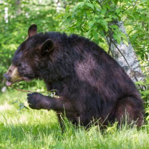 Michigan black bear travels 90 miles back home