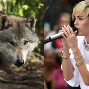 Celebrity endorsement may stop wolf cull