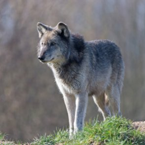Gray wolf debate continues in Minnesota
