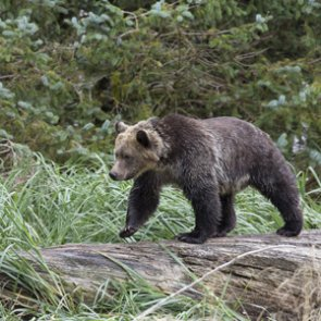 "Group sues the government over ""unambitious"" grizzly recovery plan"