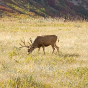 Montana FWP plans special CWD hunt this fall