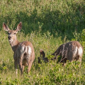 Montana determines prevalence of CWD within state