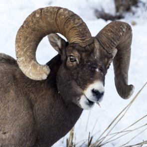 APPLICATION STRATEGY 2015: Montana sheep, moose, goat, bison