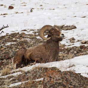 Organization wants Montana to reassess bighorn sheep management strategy