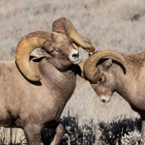 Montana proposes bighorn sheep relocation in Little Belt Mountains