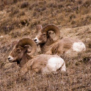 Bighorn sheep to return to Tendoy Mountains